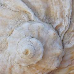 sea shell spiral closeup