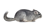 Silver Chinchilla on isolated white background
