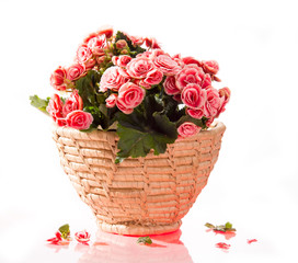 Pink begonia in basket