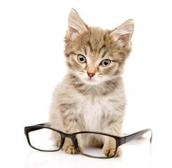 cat with glasses. looking at camera. isolated on white