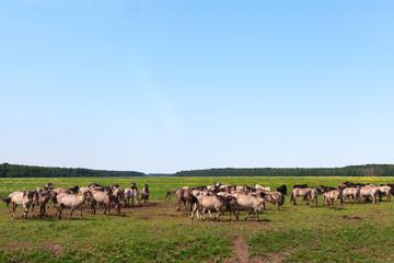 Wild horses in meadow.