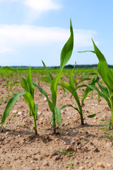 Germination of corn.