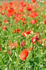 Field of red wild poppies on a sunny day