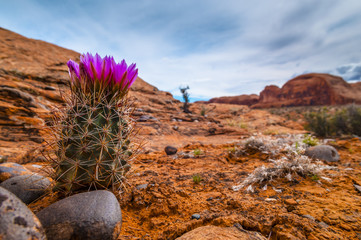 Blooming Cactus on a rugged rocky slope against blue sky