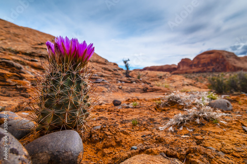 Foto op Aluminium Cactus Blooming Cactus on a rugged rocky slope against blue sky