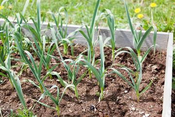 Raised Garden with Garlic