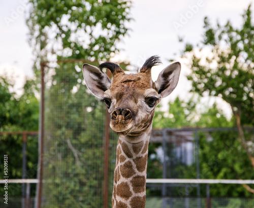Fotobehang Giraffe baby giraffe