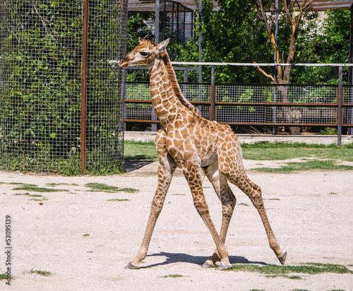 Keuken foto achterwand Giraffe baby giraffe