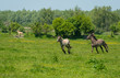 Wild horses running in a sunny meadow