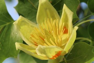 ユリノキの花 -Liriodendron tulipifera-