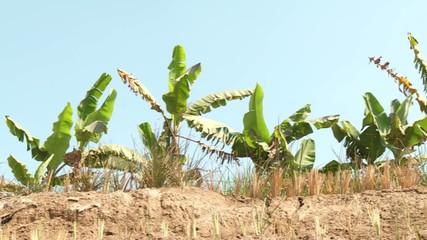 Bananenbäume