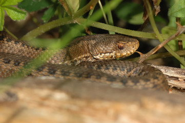 Seoane's viper (Vipera seoanei)