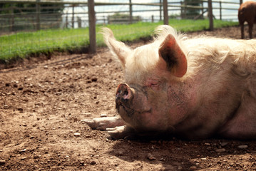 Pig sleeping in the sunshine