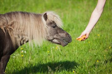 Pony wird gefüttert