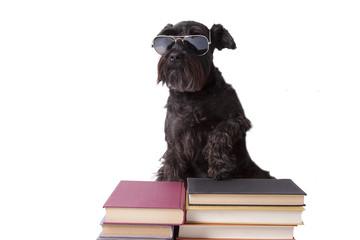 perro negro con gafas de sol sobre libros aislado