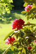 Beautiful rhododendron flowers in the park