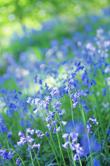 Beautiful bluebells close up