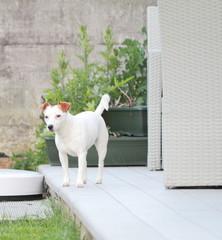 Jack Russell gioca in giardino