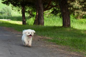 Bichon runs
