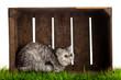Exotic shorthair cat. beautiful cat in a  box.