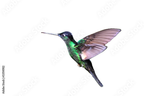 Buff-winged Starfrontlet Hummingbird  flying white background