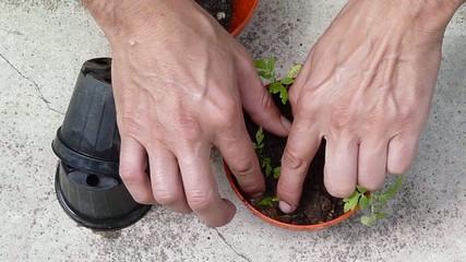 man transplanting tomato plants