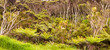 New Zealand forest of fern trees and manuka trees