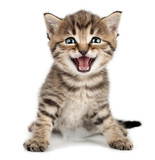beautiful cute little kitten meowing and smiling poster