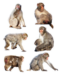Set of few Japanese macaques. Isolated  over white