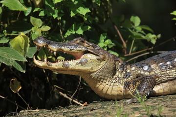 Alligator im Parque National Rio Yacuma