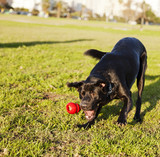 Labrador Fetching Dog Chew Toy at Park poster