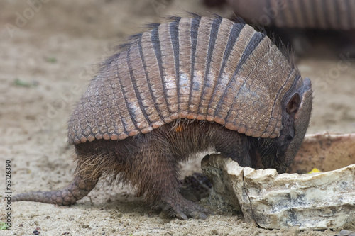 Isolated armadillo close up portrait