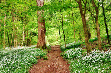 English woodland scene with wild garlic
