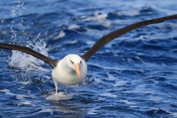 Albatross (Thalassarche melanophris impavida)