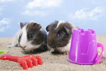 couple of guinea pig playing in the sand