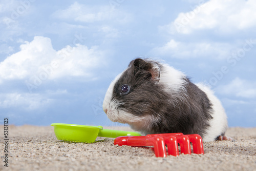 guinea pig playing in the sand