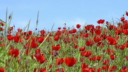 Poppy Field. Slow Motion at a rate of 240 fps