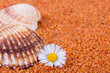 Muschel mit Gänseblümchen