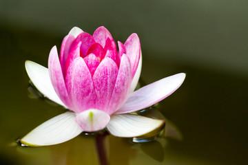 Pink Water Lily (Nimphaea Darwin)
