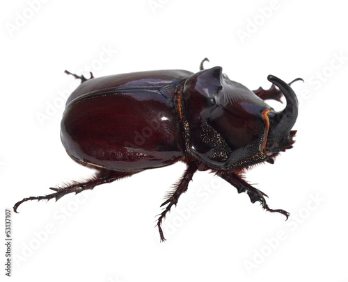 Unicorn beetle isolated on white (Europe)