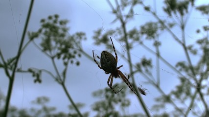 Hunting of  Orb-weaver spider to the fly.