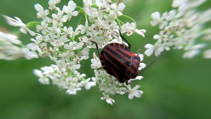 Italian Shield Striped Bug  at a umbel flower.
