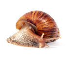 snail ,isolated on white background