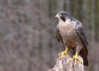 Perched Peregrine Falcon (Falco peregrinus)