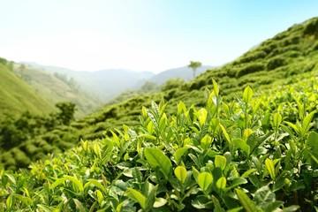 Tea Plantations © lily