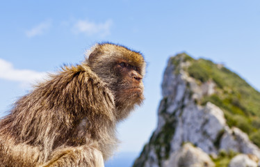Barbary Macaque atop Gibraltar's Rock