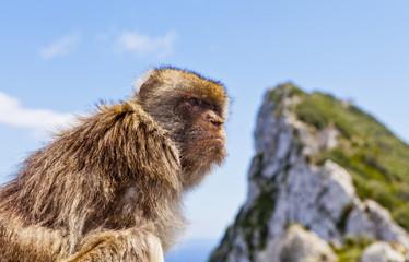 Barbary Macaque atop Gibraltar's Rock