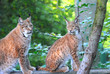 There are young lynx in forest