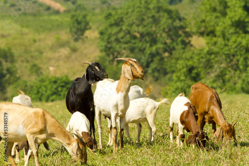 livestock, white, brown and black goats eating food in livestock