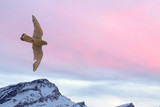 Peregrine falcon flying over snow mountain sunset background